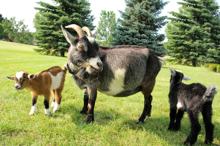 billy: Two baby goats and their mother on a farm are outside grazing and eating grass