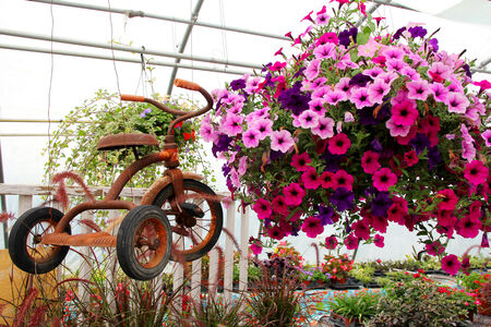 antique tricycle: a rusty old vintage tricycle is displayed hanging next to a basket of purple and pink Petunia Flowers in a greenhouse  Stock Photo