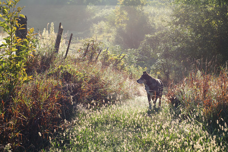 A black German Shepherd mix dog is walking on a country path on a foggy and dewy morning at sunrise.