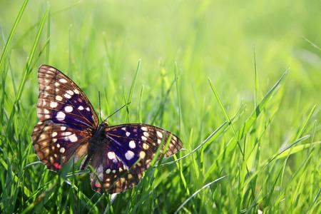 japenese: Una gran azul Japenese emperador mariposa se aterriz� en la hierba verde, enmarcando la esquina de un fondo bokeh. Poca profundidad de campo.