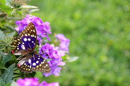 A Blue Japenese Emperor butterfly is sitting on a purple Heliotrope Flower framing the corner of a green grass background for copy-space. Stock Photo