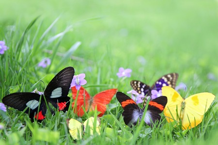 exotic butterflies: A group of colorful exotic butterflies are framing the background of blurred spring green grass.