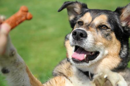 かわいいジャーマン ・ シェパード ボーダーコリー Mix の繁殖犬は外治療トレーニング セッション中にービスケットのために跳んでいます。
