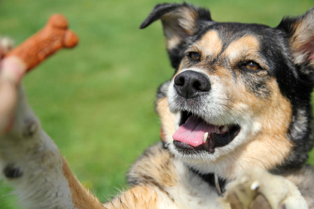 treats: Un alemán perro raza Pastor mezcla del border collie lindo está saltando arriba para un buscuit durante una sesión de entrenamiento convite exterior.