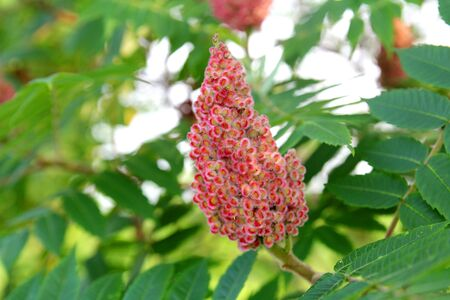 Close up on the fuzzy pink red seed clusters on a staghorn sumac close up on the fuzzy pink red seed clusters on a staghorn sumac tree growing in mightylinksfo