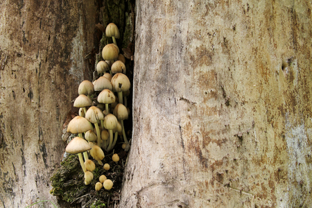 decaying: A group of Glistening Inky Cap Mushrooms are growing wild on an old decaying tree stump in the woods Stock Photo