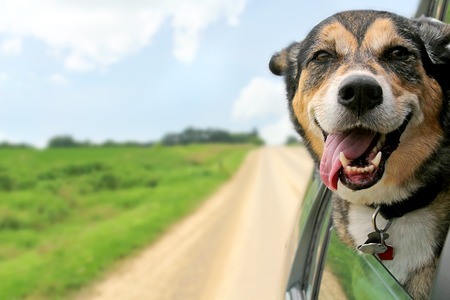 head of animal: A happy German Shepherd Mix breed dog is hanging is tounge out of his mouth with his ears blowing in the wind as he sticks his head out a moving and drving car window.