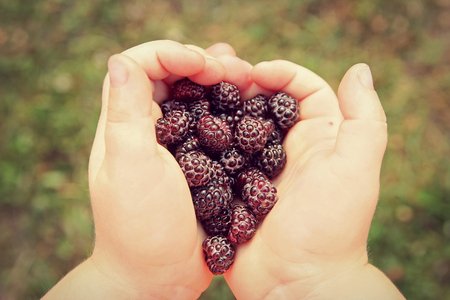 black cap: A young childs hands are holding a bunch of freshly picked wild Black Cap Raspberries outside on a summer day.  Vintage style color. Stock Photo