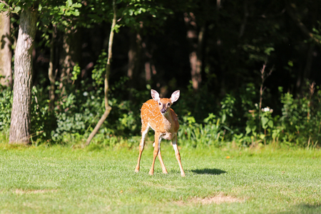 minnesota woods: A young spotted baby fawn deer is standing in the wild in a clearing by the forest.