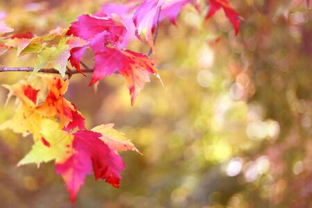 sugar maple: Red an Yellow fall colored Sugar Maple tree leaves frame a green nature background.  Warm glowing pink and gold color tint.