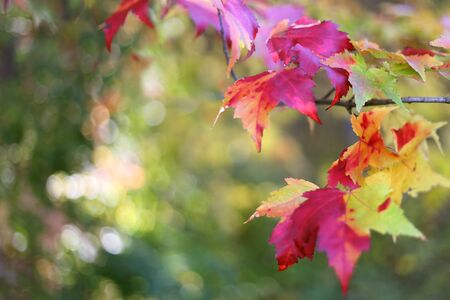 sugar maple: Red an Yellow fall colored Sugar Maple tree leaves frame a green nature background.