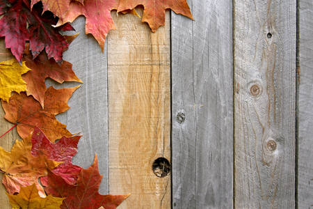 A variety of yellow, orange, and red Autumn Maple leaves are bordering the top of a rustic wood board textured background.