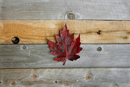 A lone red Autumn Blaze Maple Leaf is on a background of grey weather wood boards.