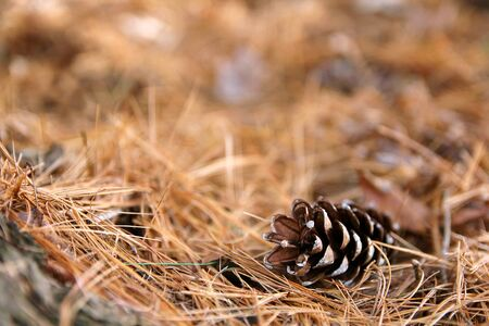 A single Pine Cone is laying on Fallen pine needles, framing a blurred forest floor background.  Shallow depth of field.
