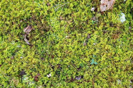 green texture: A natural textured background of green grassy moss, snow, frost, and fallen leaves  on the ground of the forest in winter.