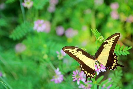 A yellow Queen Swallowtail Butterfly, Papilio androgeus laodocus, native to Brazil is on a background of purple flowers