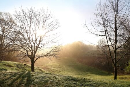 filtering: Two bare branched Oak trees in a grass Meadow have morning sunrise light filtering through the branches on a foggy dawn.