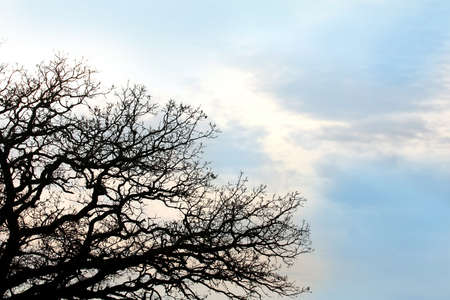 cloude: Silhouette of Bare Burr Oak Tree Branches against a background of blue sky