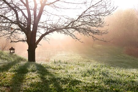branched: Sillhoutted Bare Branched Spring Oak Tree Glowing in Morning Sunrise fog, with birdfeeder hanging on it.