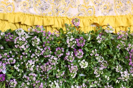 A pallet of purple sweet alyssum flowers borders a pretty yellow a pallet of purple sweet alyssum flowers borders a pretty yellow garden apron fabric stock photo mightylinksfo