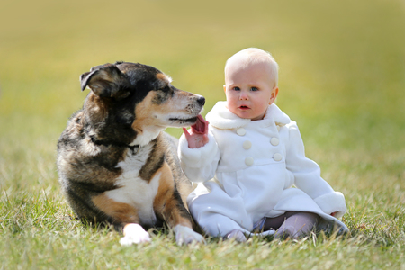 german shepherd on the grass: A precious 13 month old baby girl in a faux fur white peacoat, is sitting outside on the grass with her pet German Shepherd dog, as he licks her hand on a Spring day.