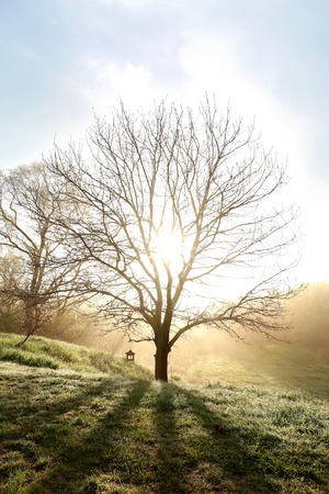 branched: A single Bare branched oak tree with a bird feeder on it is glowing in the sun rays of a spring morning sun on a foggy day.