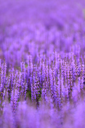 referred: A lovely background of purple Salvia of the Mint family, commonly referred to as sage.
