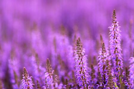 field mint: A lovely background of purple Salvia of the Mint family, commonly referred to as sage.