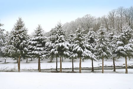 snow tree: Freshly Fallen White snow covers the branches of a row of Pine Trees by a river in the country. Stock Photo
