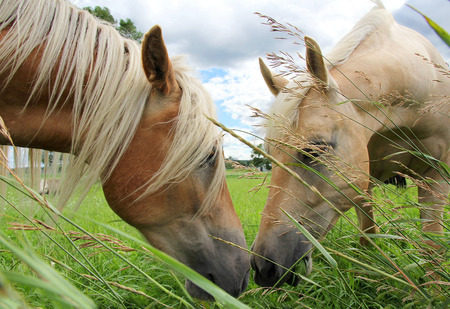 Two Horses are grazing in a field, eating grass and touching noses in an apparent kiss.
