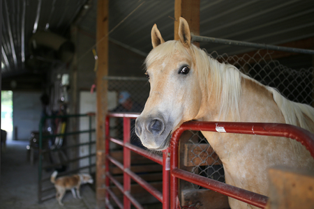 barking: Funny Photo of a White Palamino Stallion horse in a barn stall, looking at the camera, as a little farm dog barks in the background. Stock Photo