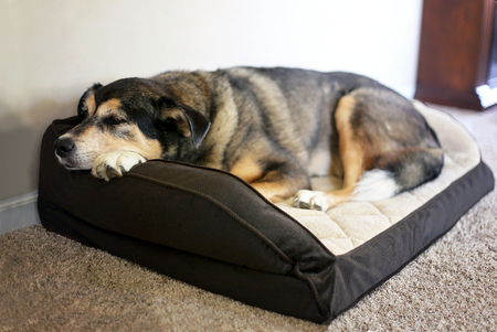 An old German Shepherd Border Collie Mix Breed Canine is resting in a soft dog bed at home. Imagens