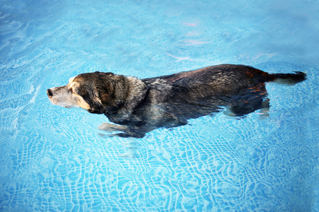 An old mix breed dog is swimming in the clear water of a backyard swimming pool for exercise and rehabilitation therapy after and ACL tear Knee injury. Banco de Imagens