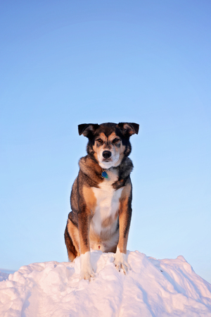 A large black German Shepherd mix breed dog is standing on the top of a tall snow bank on a winter day. Stock Photo