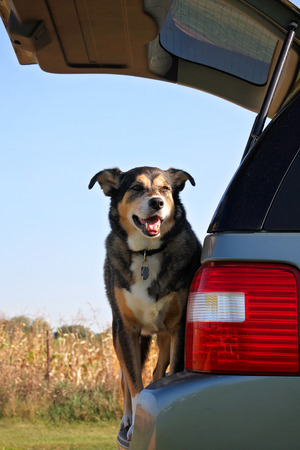 A happy dog is standing in the back of his family car, waiting to go for a ride.