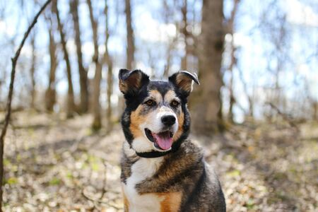 A beautiful old, German Shepherd - Border Collie Mix breed dog is sitting outside in the deciduous forest, listening with his ears perked up.