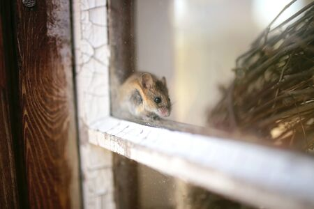 A cute little grey House Mouse is sitting on the window will of a shed, trying to hide.