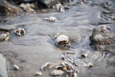 Open Pacific oyster with snail pearl in German north sea wadden mudflat 写真素材