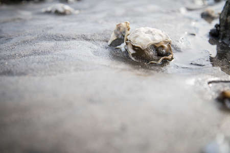 Open Pacific oyster with snail pearl in German north sea wadden mudflat Фото со стока