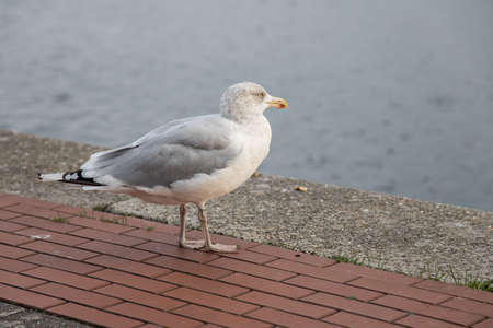 Herring gull at German north sea south beach Bontekai in Wilhelmshaven Friesland Germany Stock Photo