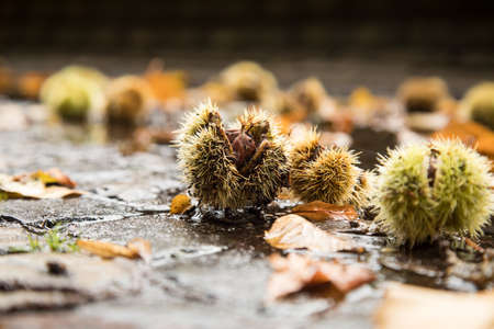 Chestnut in green spike shell skin, brown leaves and wet street during autumn fall harvest outside Фото со стока