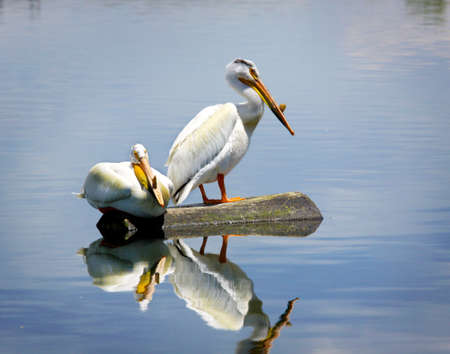 Two white pelicans sitting on a log (landscape) Stock Photo - 11448780