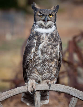 Great horned owl winking, sitting on a wagon wheel
