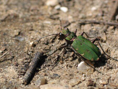 tiger beetle: Green Tiger Beetle (Cicindela campestris)