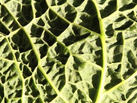 nervure: detalles de hojas de repollo