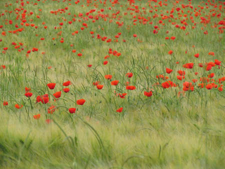 green been: poppy field
