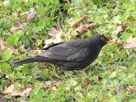 Turdus merula Blackbird Stock Photo - 18167136