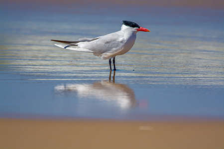 Caspian tern wadding on lake Michigan shore 免版税图像