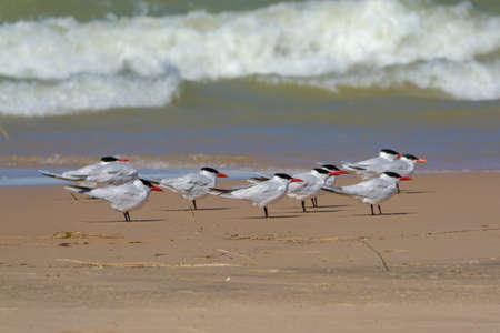 Caspian tern flock wadding on lake Michigan shore