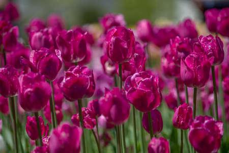 Pink tulip flower bed